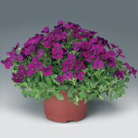 Aubrieta Axcent Dark Red