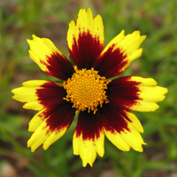 Coreopsis 'Cosmic Eye'