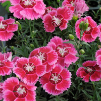 Dianthus - Shining Star