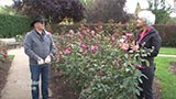 Fall Rose Pruning